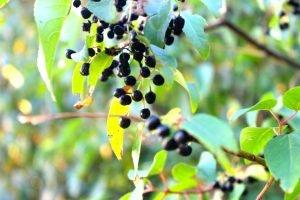 """Maqui """"La super fruta"""" Beneficios para tu salud."""